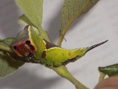 1995 Cerura vinula (Puss Moth) L