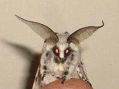 1995 Cerura vinula (Puss Moth)