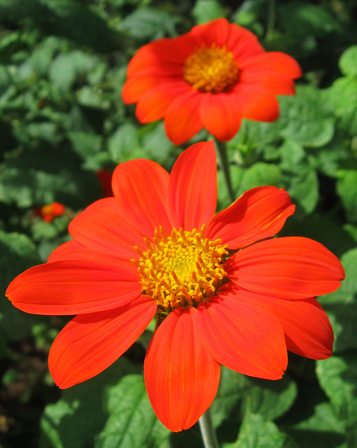 Mexican Sunflower by My Lovely Wife (Explored)