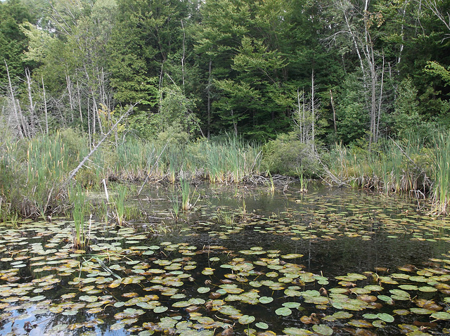 Étang et nénuphars / Pond & lilies / Estanque y lirios.