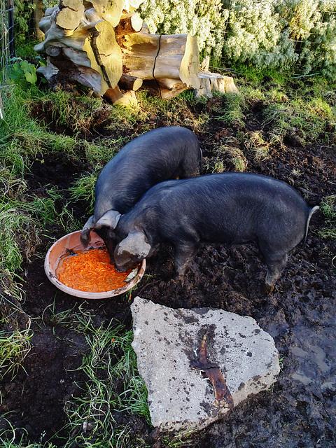 the piglets love Hugues' dessert