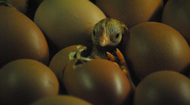 New born chicken