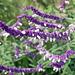 Mexican bush sage_salva leucantha
