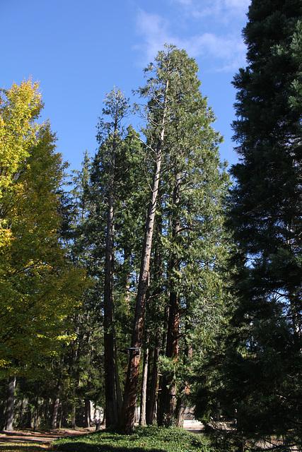 Thuyas géants de Californie centenaires