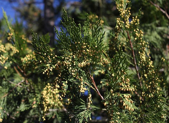 Thuya géant de Californie (3)