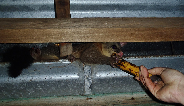 possum in the woodshed