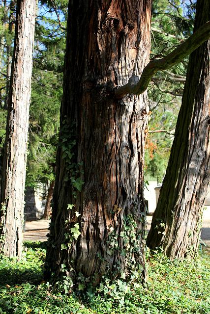 Thuya géant de Californie centenaire