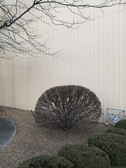 Good bush for landscaping this gravel and wall area in Indiana.