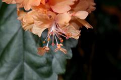Hibiscus El Capitolio Sport  (6)