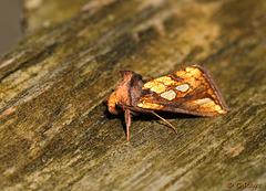 Gold Spot Plusia festucae