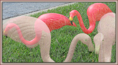 of flamingos . .