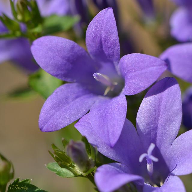 """Géranium  """"Johnson's Blue """""""