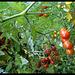 Immer noch reichlich Tomaten im Entstehen