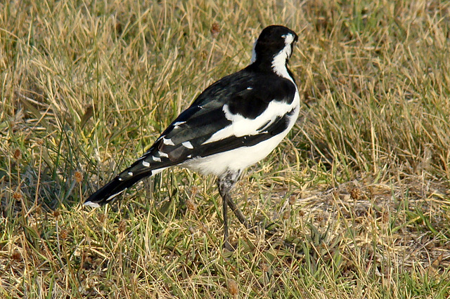 A Magpie-lark in the grass