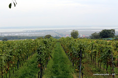 Vineyards at Morbisch am See, between Rust and Sopron looking out to the Neusieldlersee