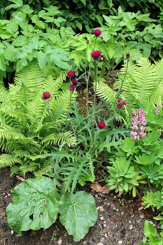 Cirsium rivulare- Derrière l'armoire - Jardin 12- Cirsium rivulare