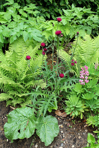 Cirsium rivulare- Derrière l'armoire - Jardin 12 (2)