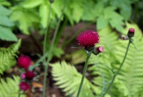Cirsium rivulare- Derrière l'armoire - Jardin 12 (16)