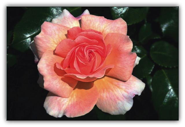 Dernière rose de l'été?
