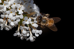 Bee in White Flower Cluster