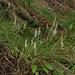 Spiranthes cernua (Nodding Ladies'-tresses orchid)