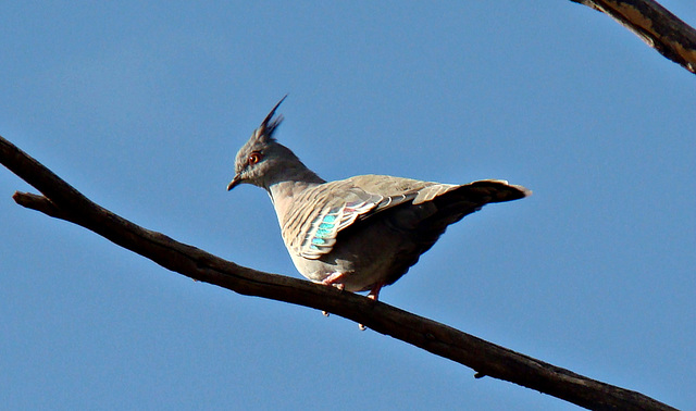 A Crested pigeon