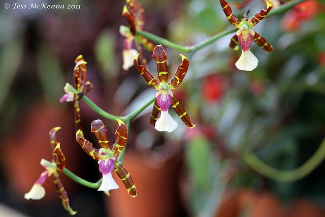 Orchids Dancing  072 copy Explore