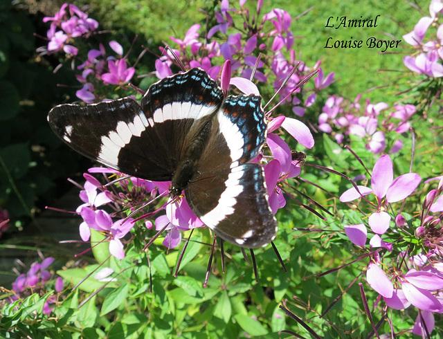 Papillon l'Amiral