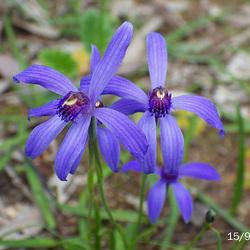 Pheladenia deformis (Bluebeard)
