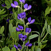 Baptisia australis -Podalyre