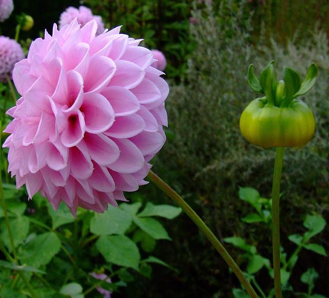 Pink dahlia and a bud