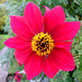 A lovely red dahlia