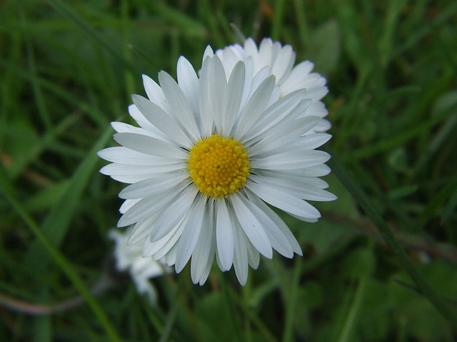 Common Lawn Daisy