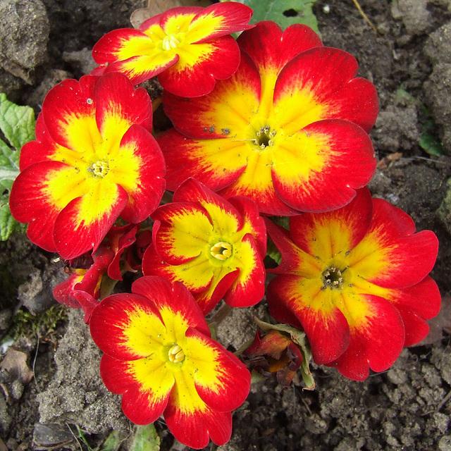 Red Yellow Polyanthus