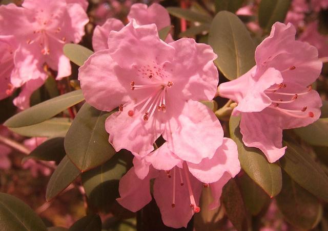 Pink Rhodedrendron
