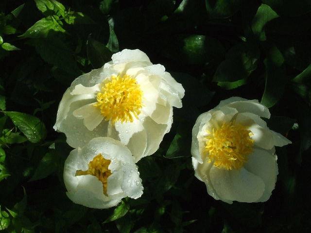Three White Peonies after Rain