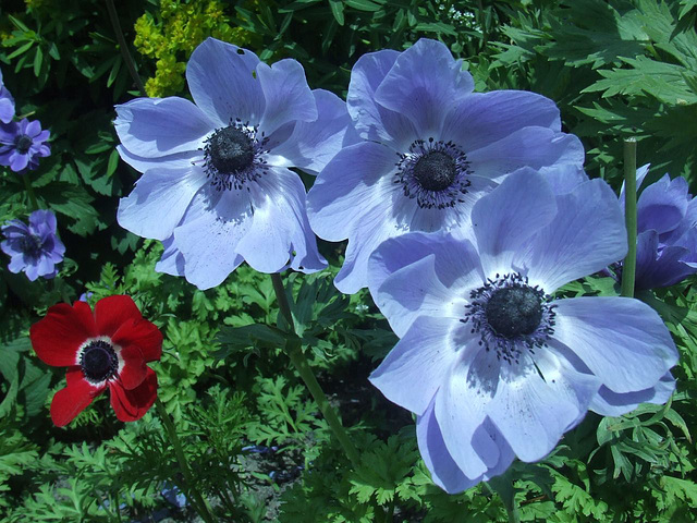 Anemones - Red and Blue