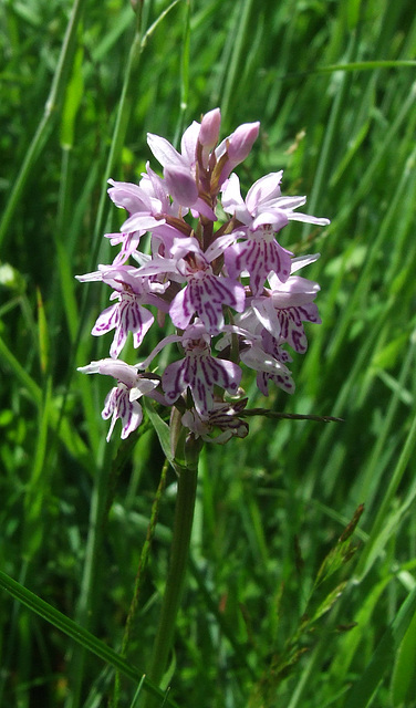 A Wild Orchid (Common Spotted)
