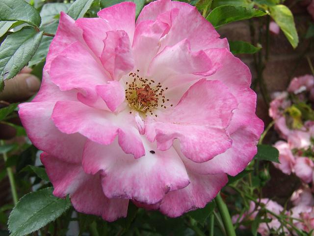 A rose, simply a rose