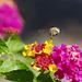 stripy bee