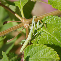 Ignoring Mantis