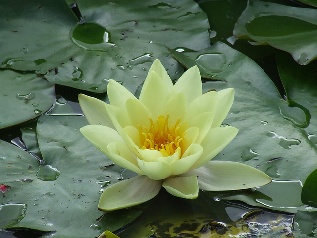 Water Lily, Moorei