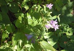 florado (Blühen)