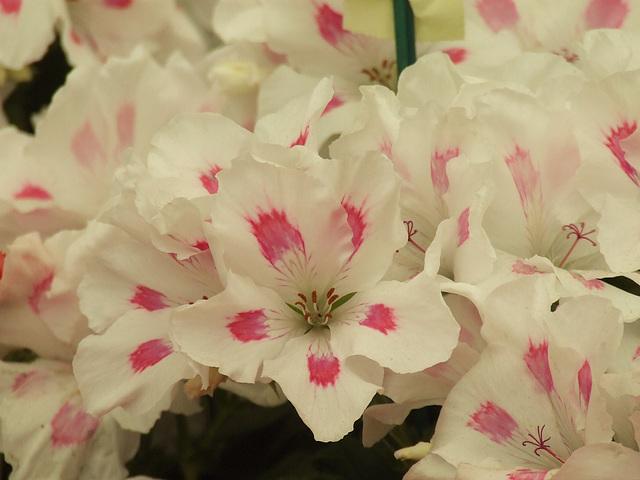 "Pelagonium ""Honeywood Lindy"""