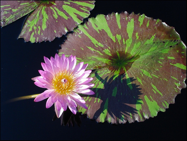 Water Lily at Longwood Gardens