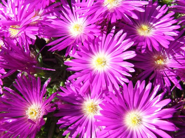 Purple Alpines
