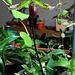 Paphiopedilum maudiae hybride