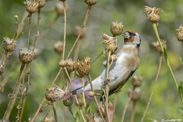 Jilguero (Carduelis carduelis parva)(♀)