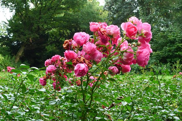 rosen-1170190
