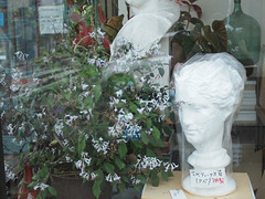 Skunk vine in the window display
